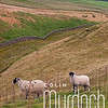 Sheep in the Yorkshire Dales I